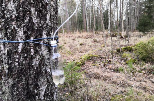 Björksav rinner från björken i en flaska