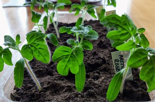 Små tomatplantor i en plastburk