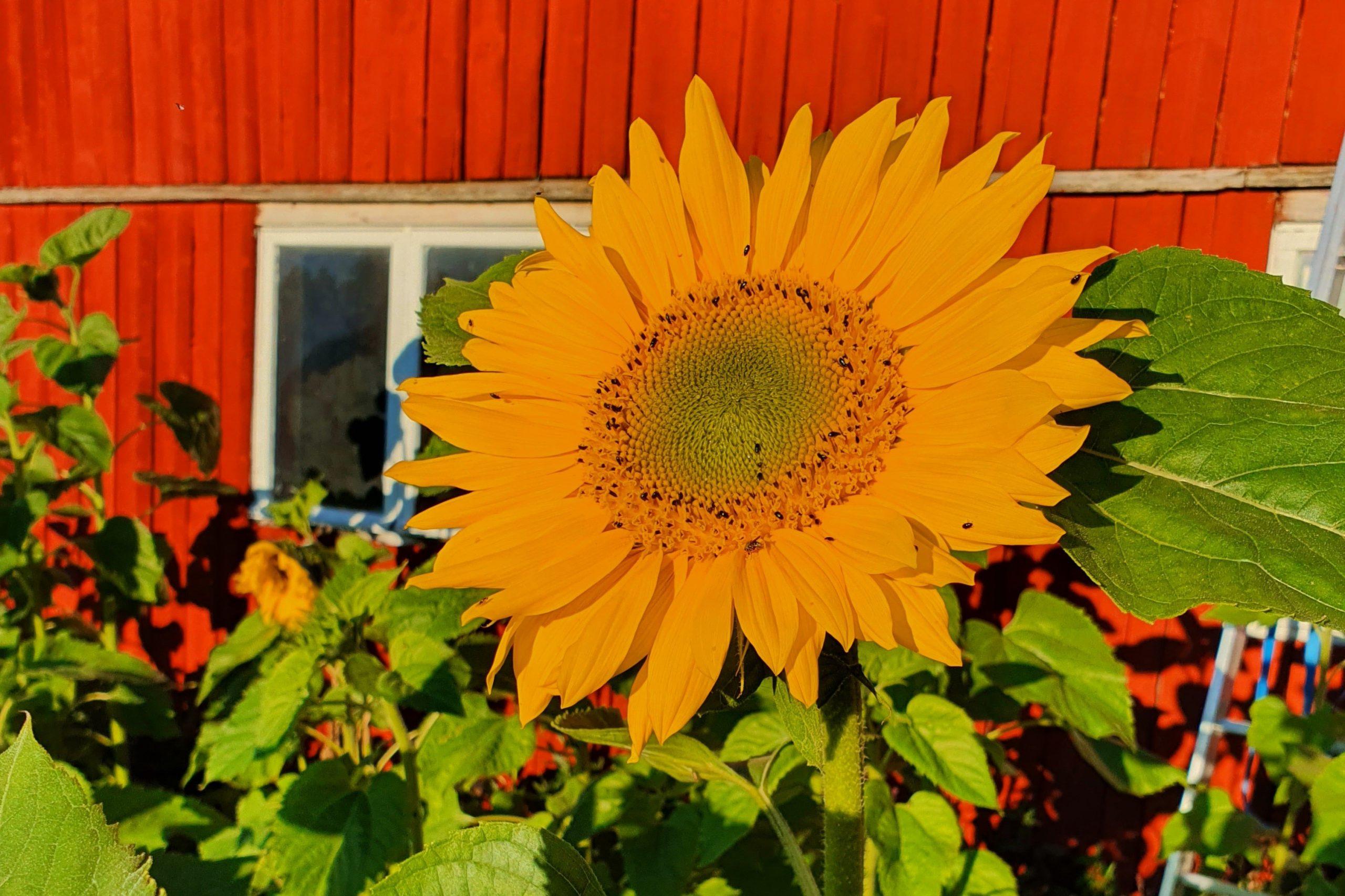 Över 200 deltagare i årets solrostävling featured image