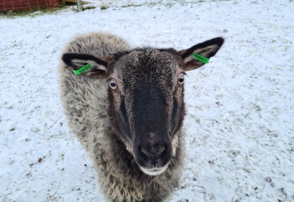 Bild på får.